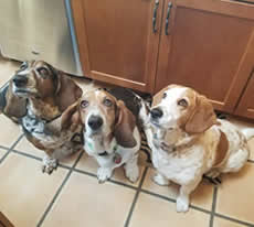 Three basset hounds in a kitchen begging for food.